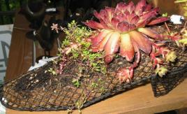 Semperschuh in meinem Garten Foto Maria Mail-Brandt