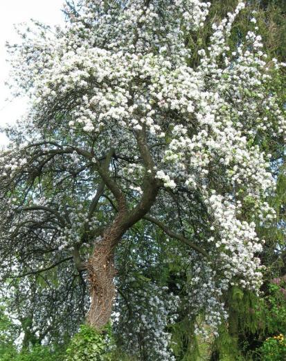 Apfelbaumblüte in unserem Garten