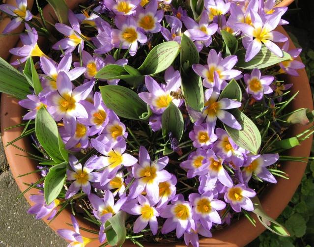 Frühjahr Krokusse