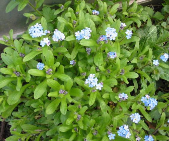 myosotis vergissmeinnicht blauer augentrost wald vergissmeinnicht als zauberpflanze liebespflanze. Black Bedroom Furniture Sets. Home Design Ideas
