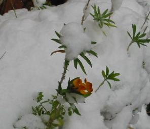 Duftender Goldlack im winterlichen Garten