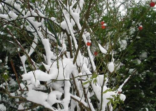 Ein Garten im Winter - Rosenhagebutten im Schnee